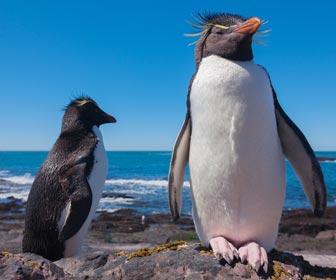 Falklandeilanden pinguins