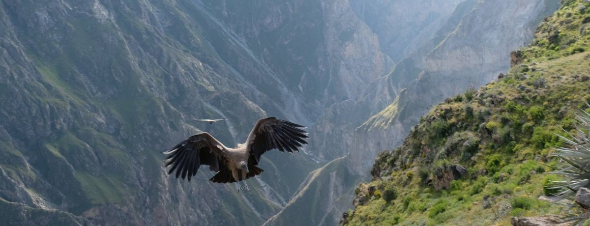 Colca Canyon is ongeveer 160 km van Arequipa en is een bijzondere kloof in Peru