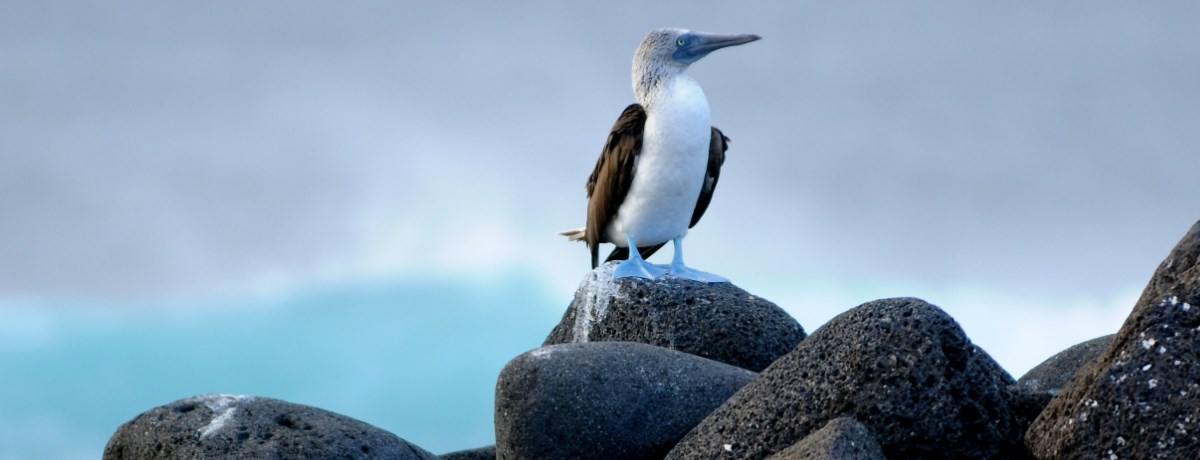 Blue-footed booby op de Galapagos eilanden in Ecuador